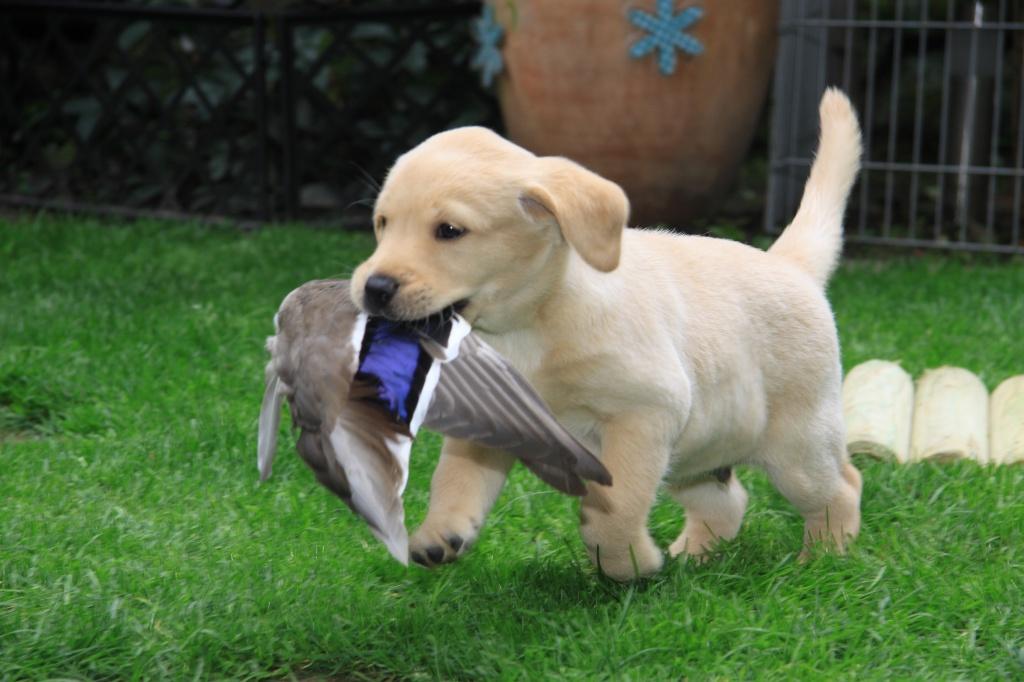Aron apportiert vorbildlich eine Entenschwinge