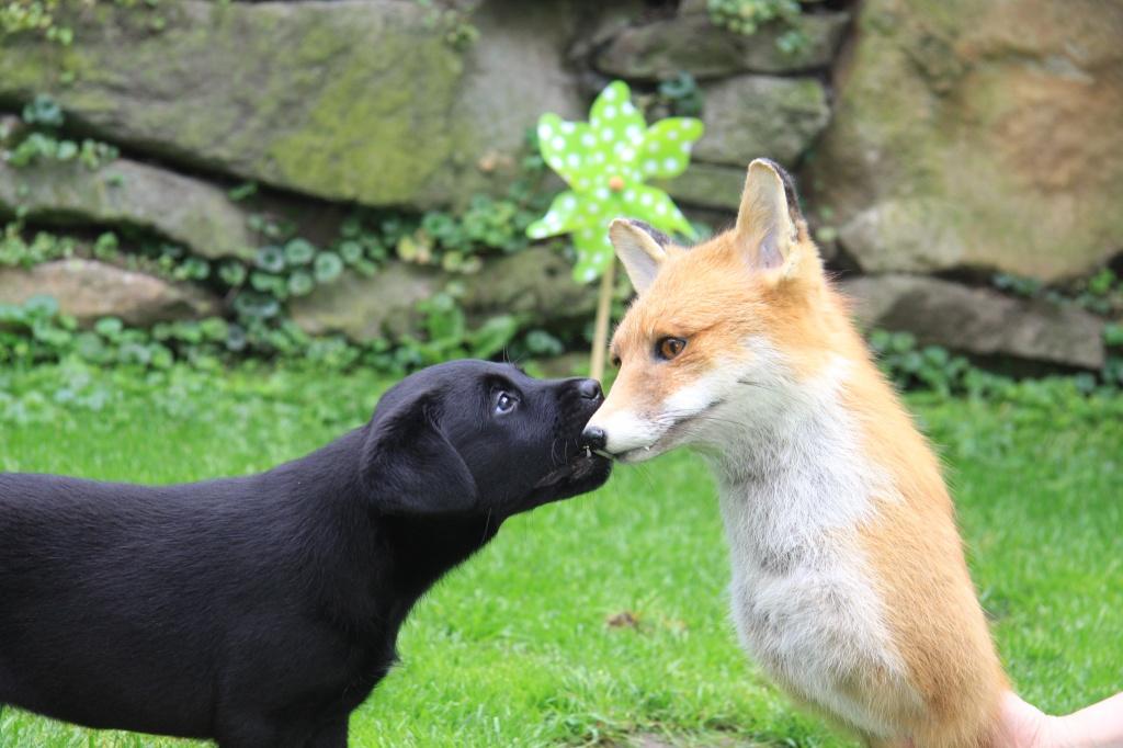 Avanti lernt einen Fuchs kennen