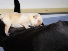 Hündin schläft gemütlich