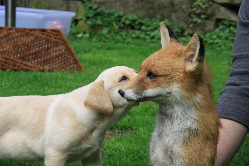 Apple lernt den Fuchs kennen!