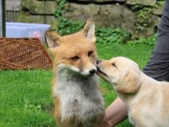 Apple und Fuchs