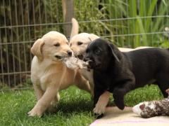 Das Trio apportiert gemeinsam!