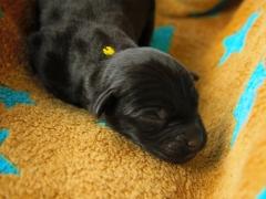 Schwarzer Rüde (gelb)